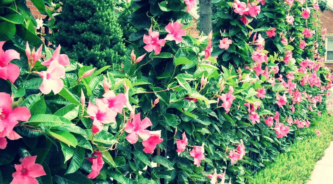 Bunga Madenvilla Sanderi