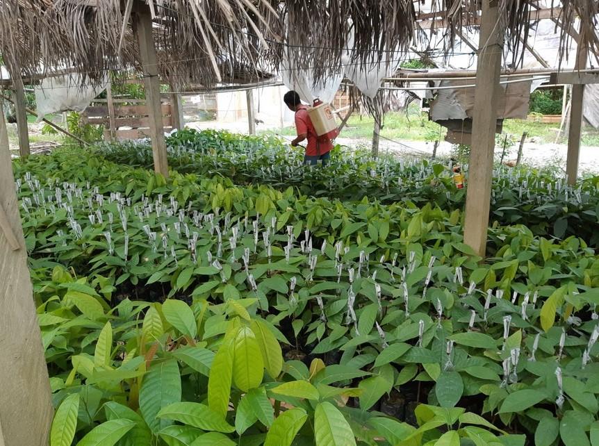 Melakukan perawatan pada tanaman kakao