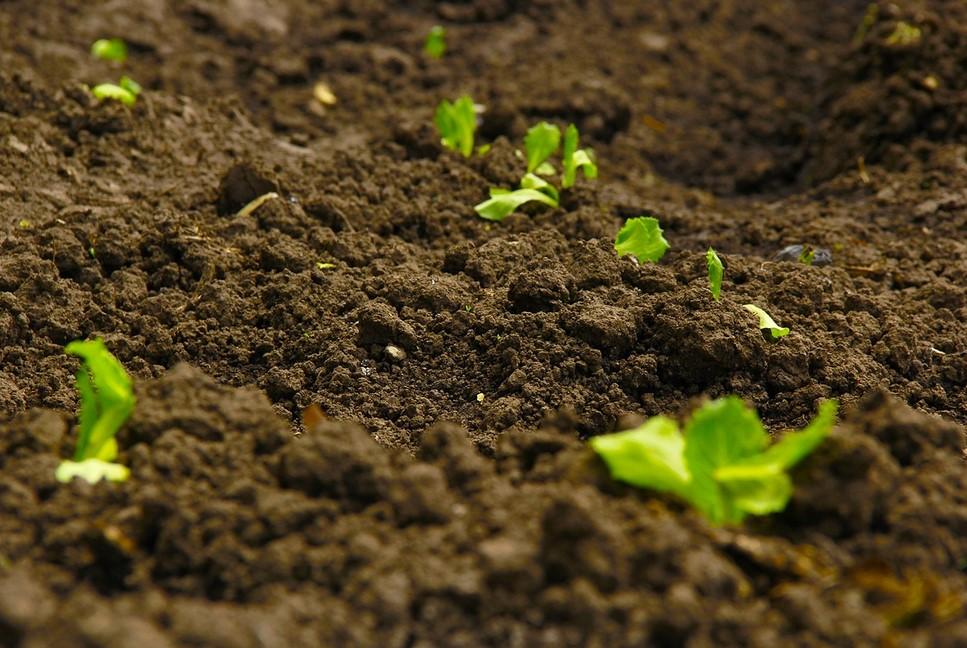 Mol Pisang Membantu Menyuburkan Tanah