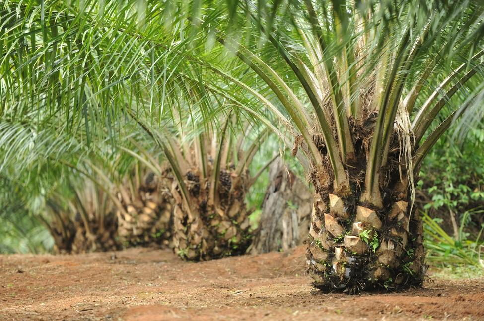 Syarat Tumbuh Pohon Kelapa Sawit