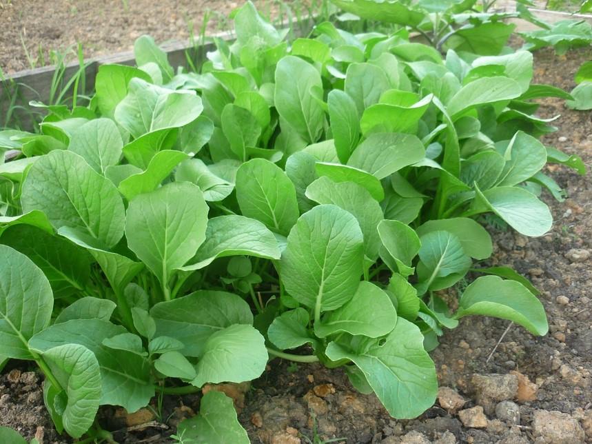 Tanaman Holtikultura - Sayuran daun