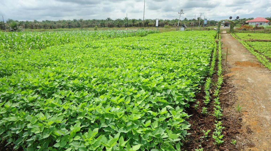Tanaman Kacang Tanah