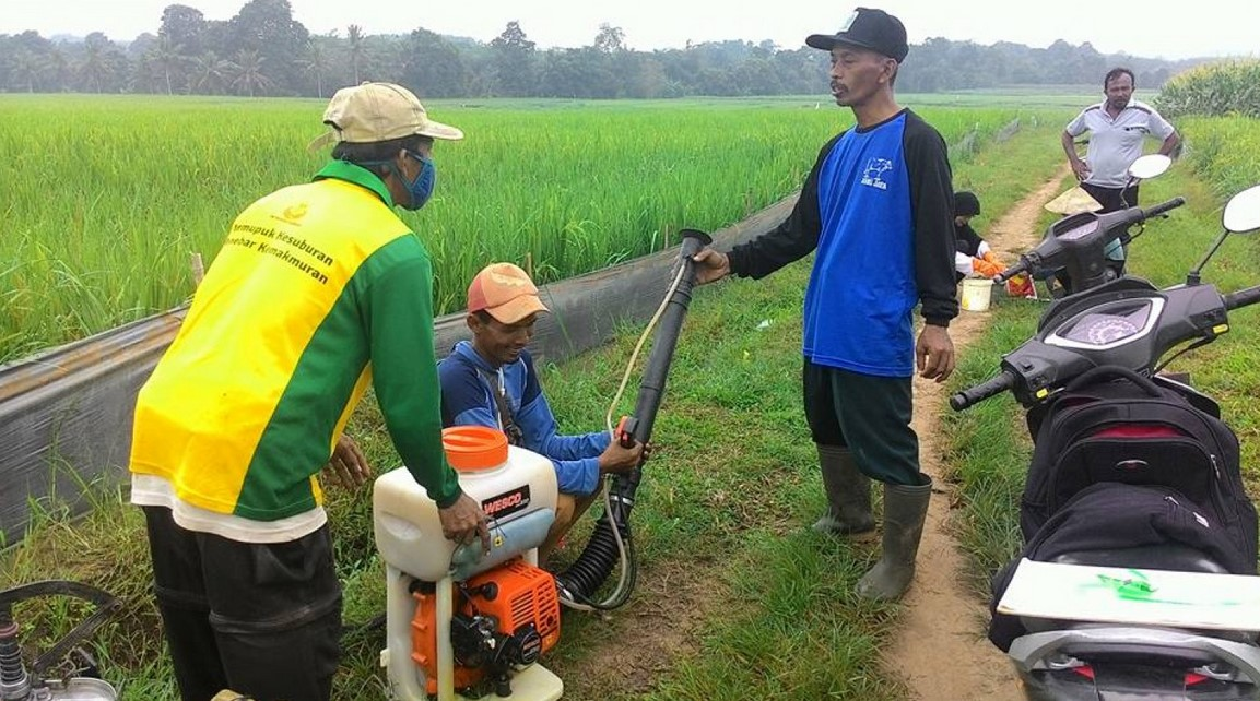Cara Petani Membasmi Hama Wereng
