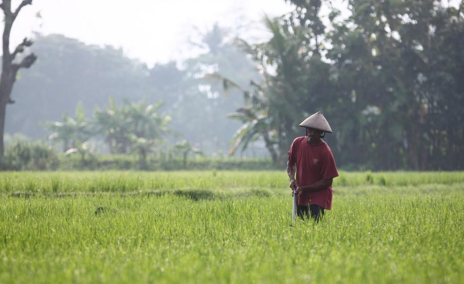 Mengenal fase pertumuhan padi