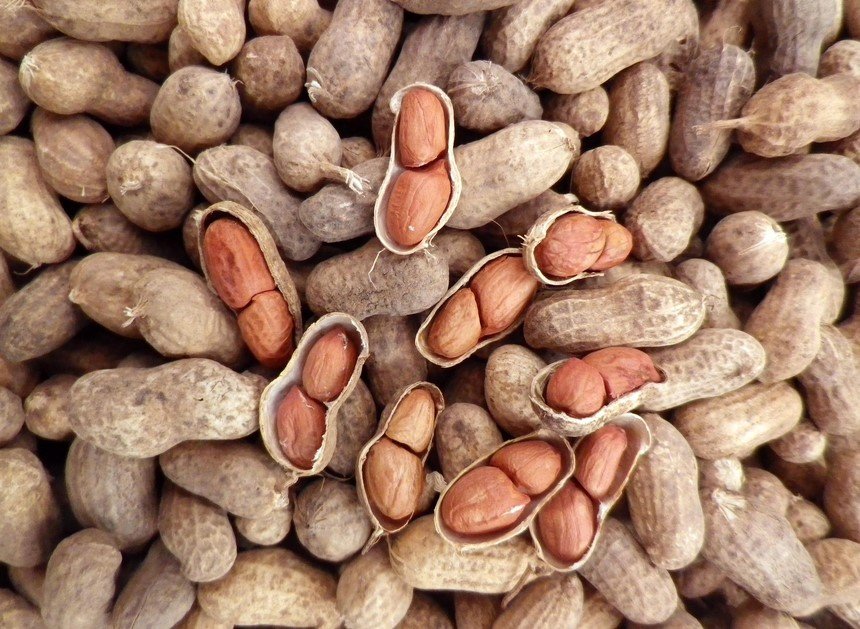 Pemilihan Biji kacang tanah berkualitas