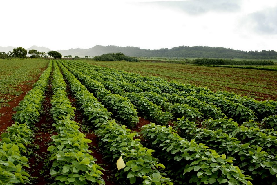 Pemilihan Lahan kacang tanah