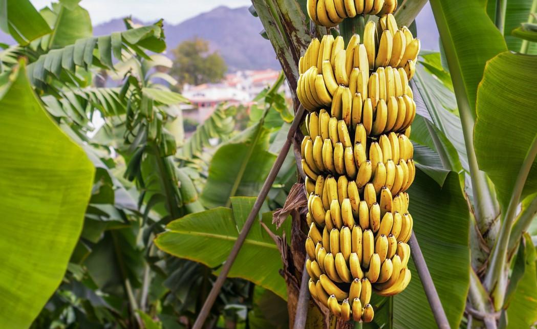 budidaya pisang