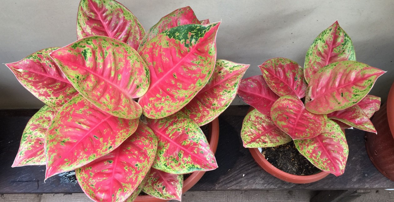 cara menanam bunga aglaonema