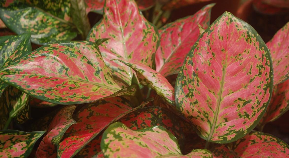 cara menanam dan merawat bunga aglaonema