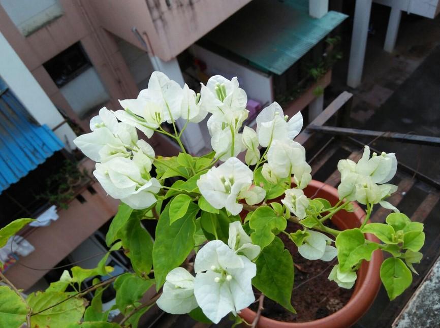 Bunga Bougainvillea Putih