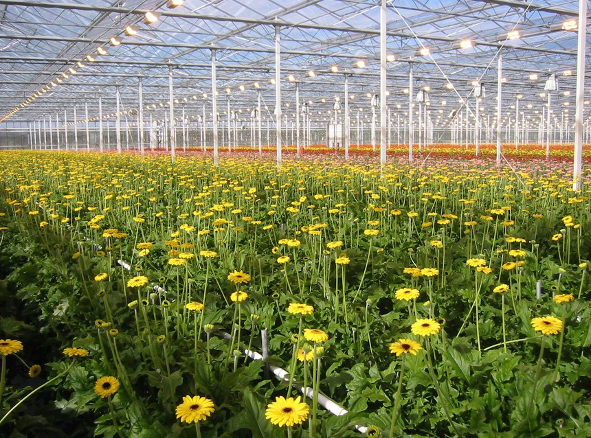 Kebun Bunga Garbera