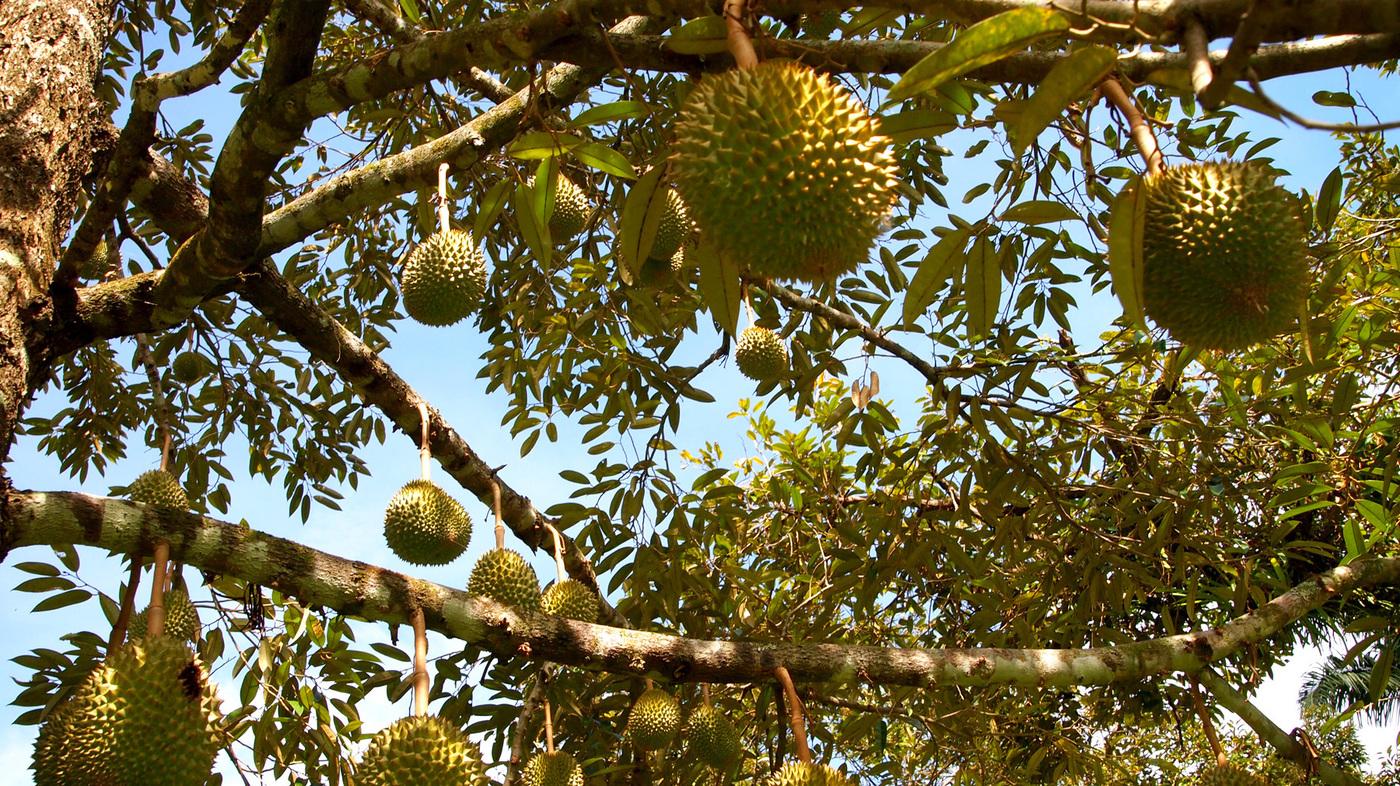 Kesalahan Umum Stek Durian