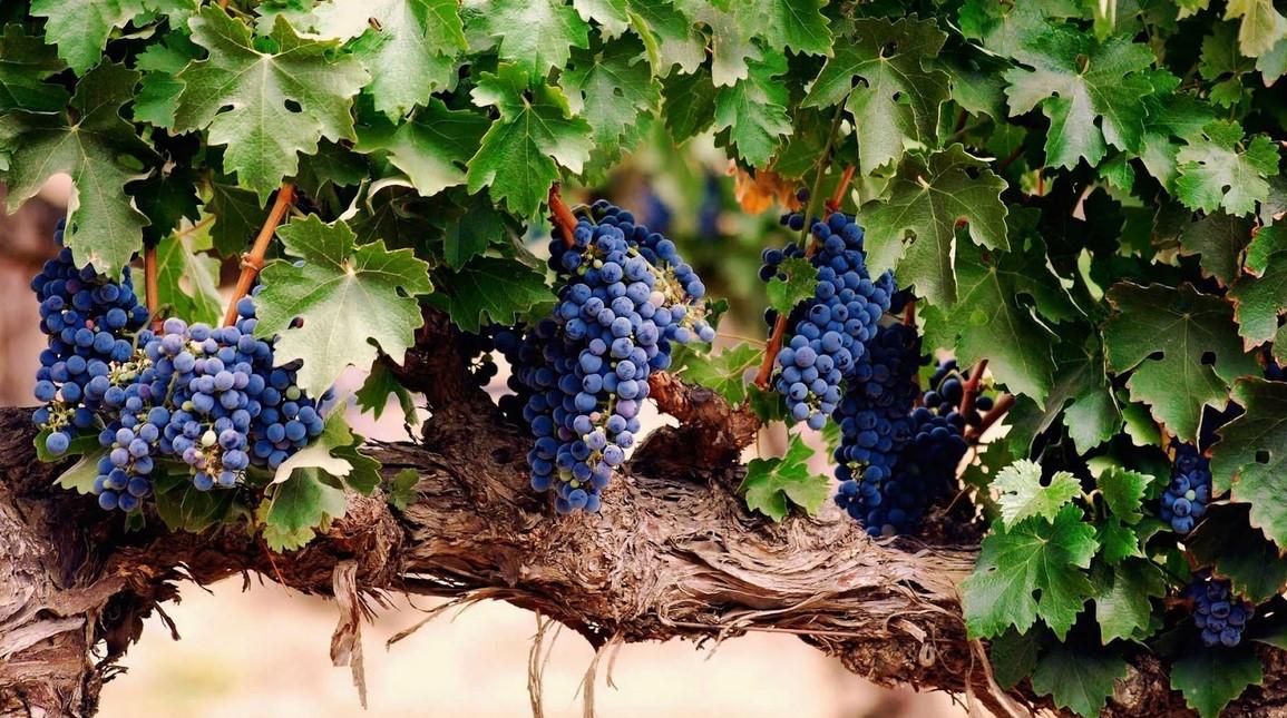 Menanam Buah Anggur Berkualitas