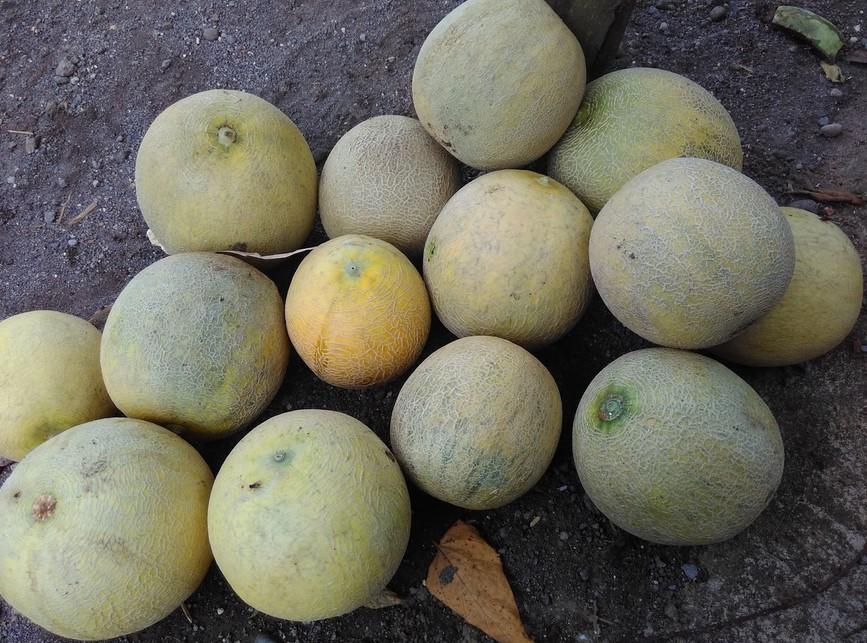 Panen Buah Melon