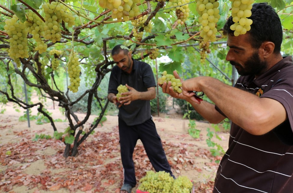 Pemanenan Buah Anggur