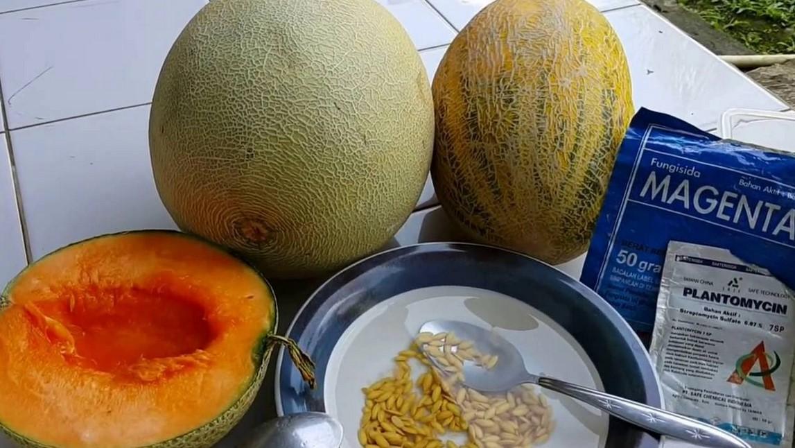 Pemilihan bibit Melon Kualitas Terbaik