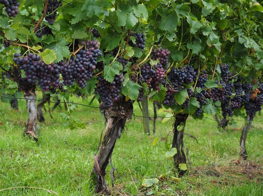 Perawatan Anggur