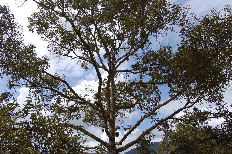 Pohon Indukan Terlalu Tua