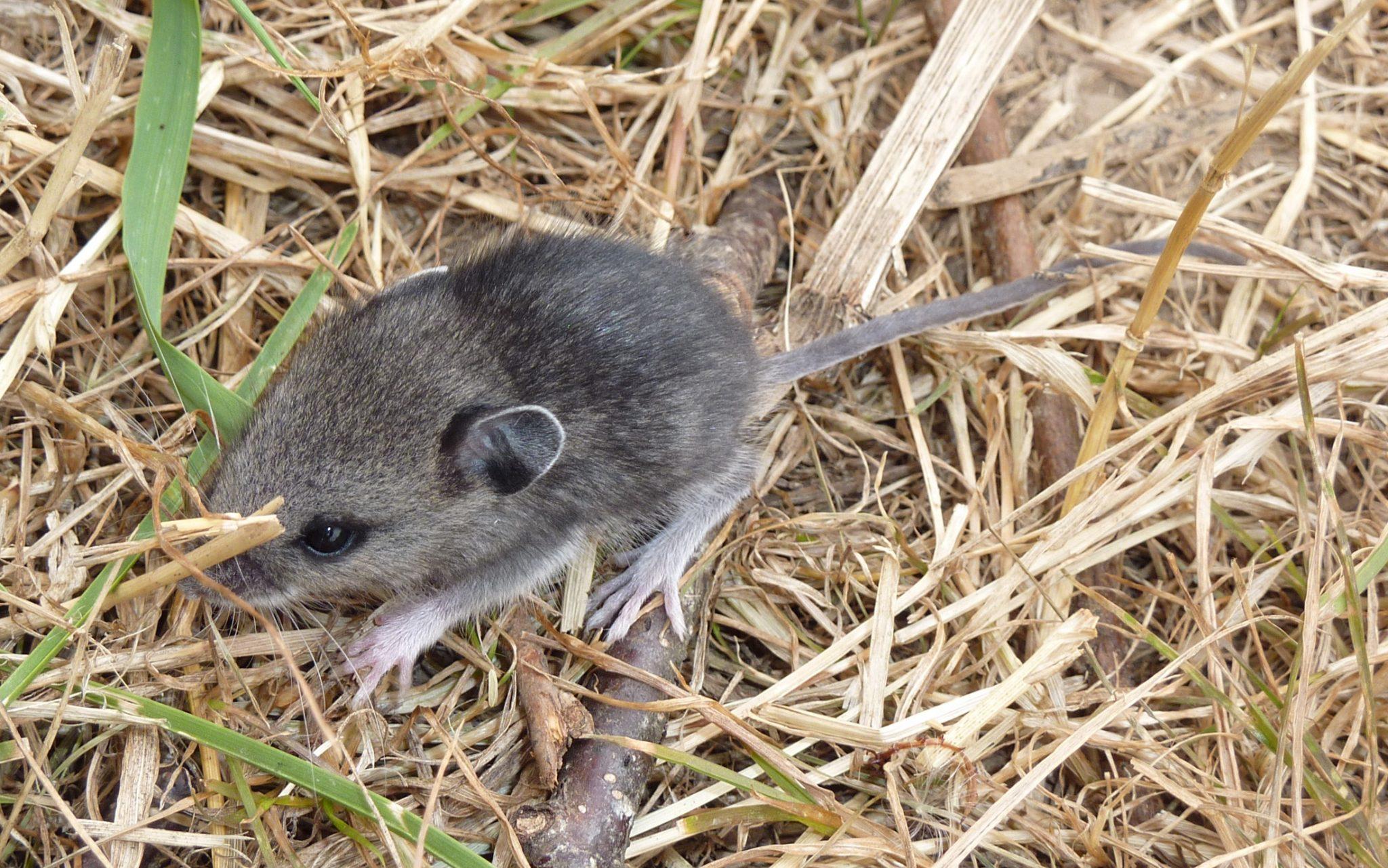 Tikus Sawah
