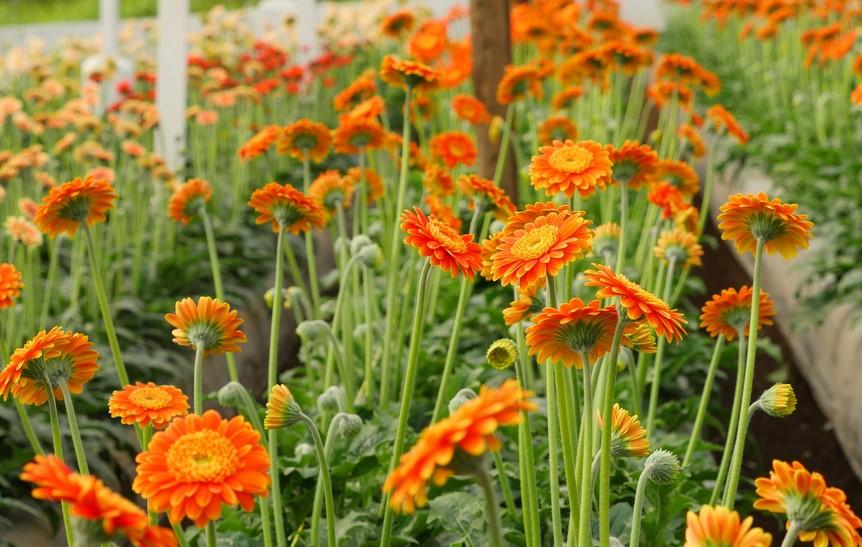 bunga garbera siap panen