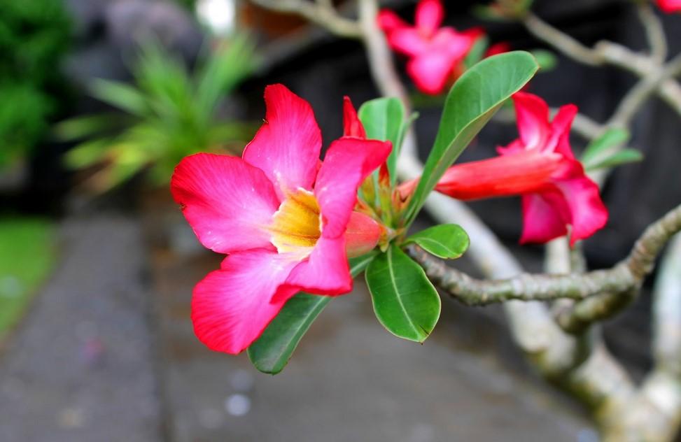 cara menanam dan perawatan bunga kamboja