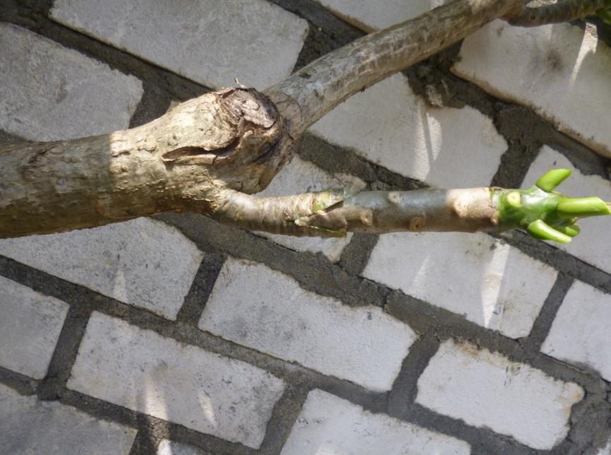 menanam kamboja dengan cara okulasi