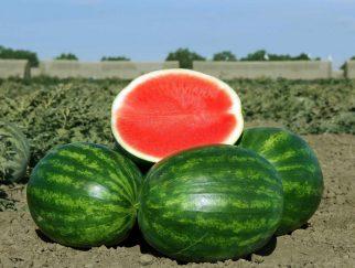 menanam semangka tanpa biji