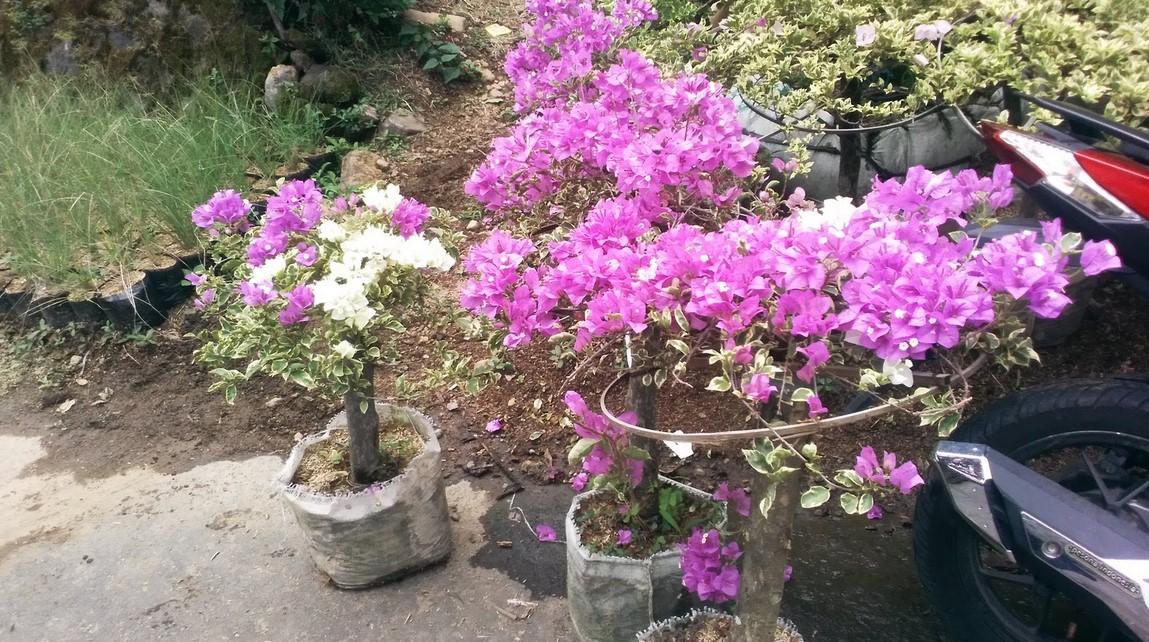 mencegah bunga dari hama penyakit