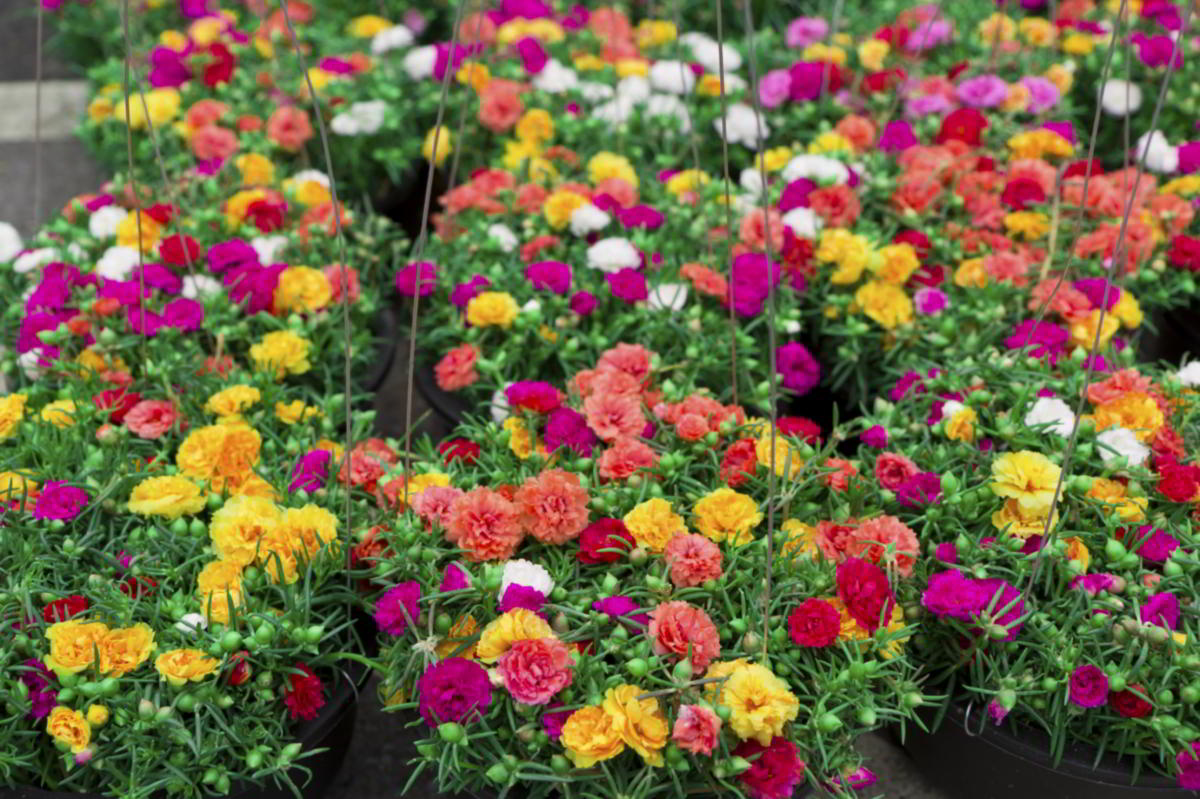 Andrewi Moss Rose