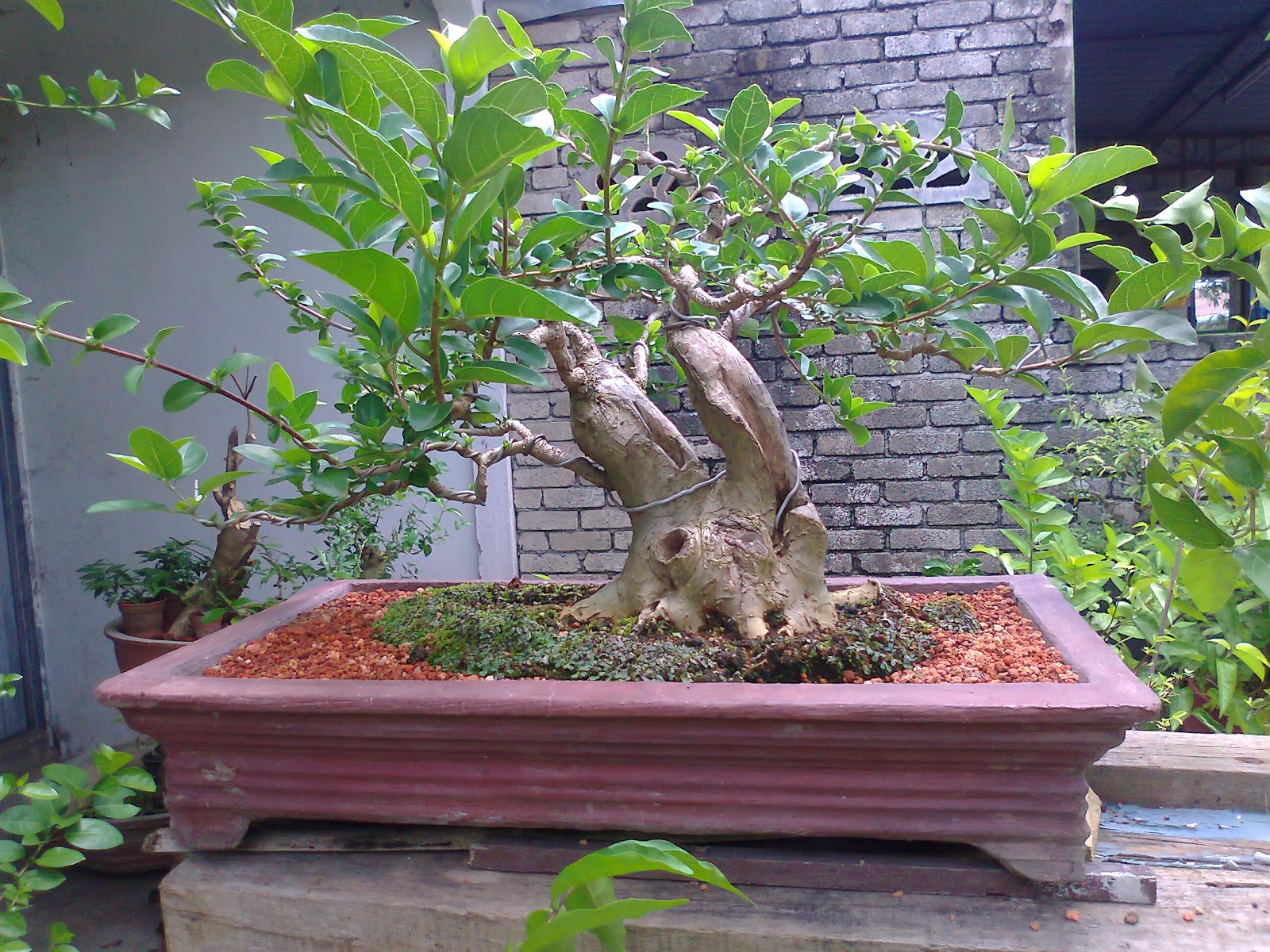 Bonsai Jambu