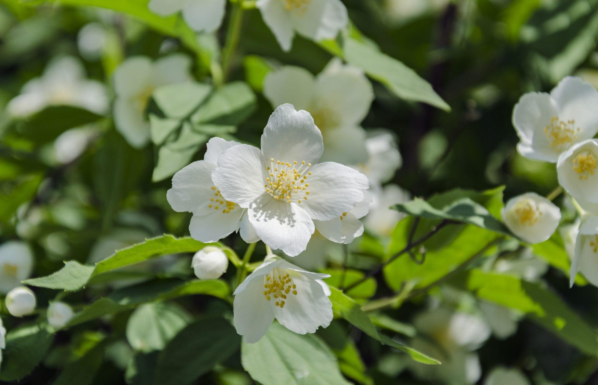 Bunga Melati