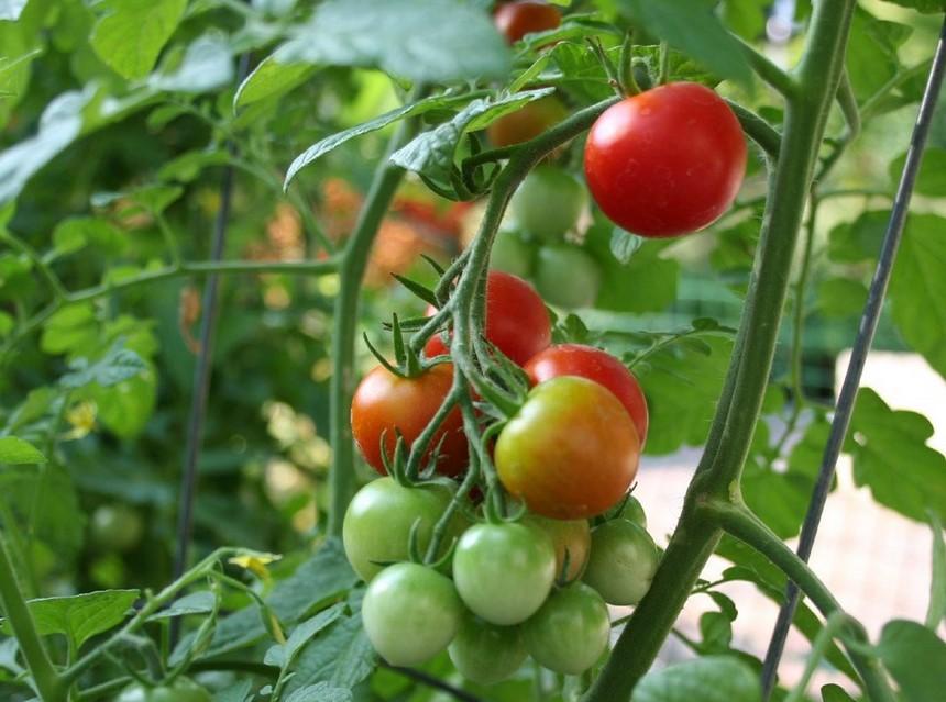 Cara Budidaya Tomat