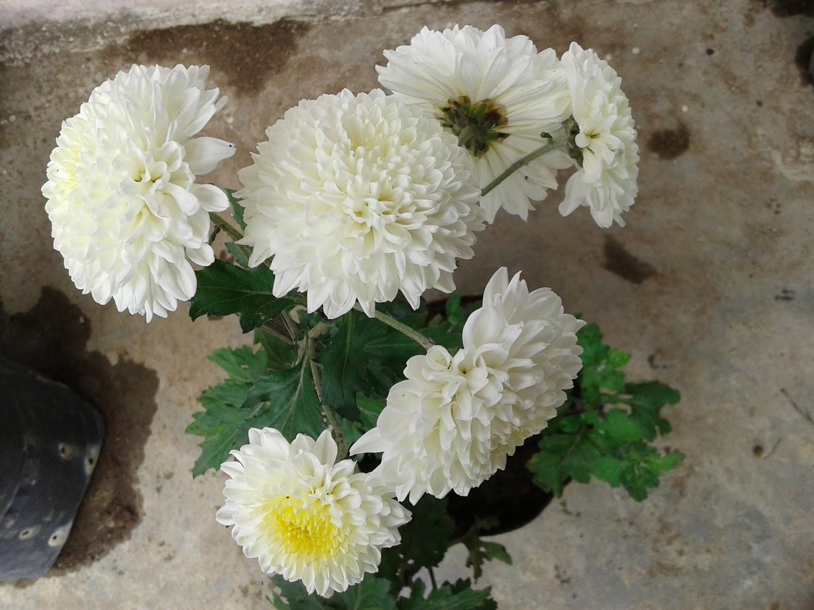 Chrysantemum inodorum