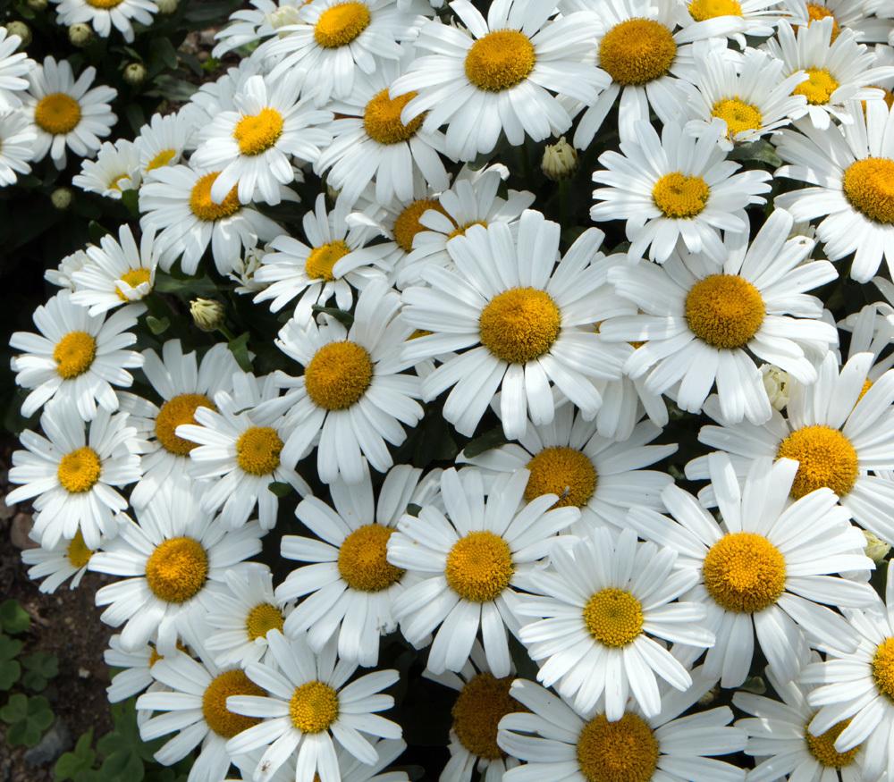 Chrysantemum maximum