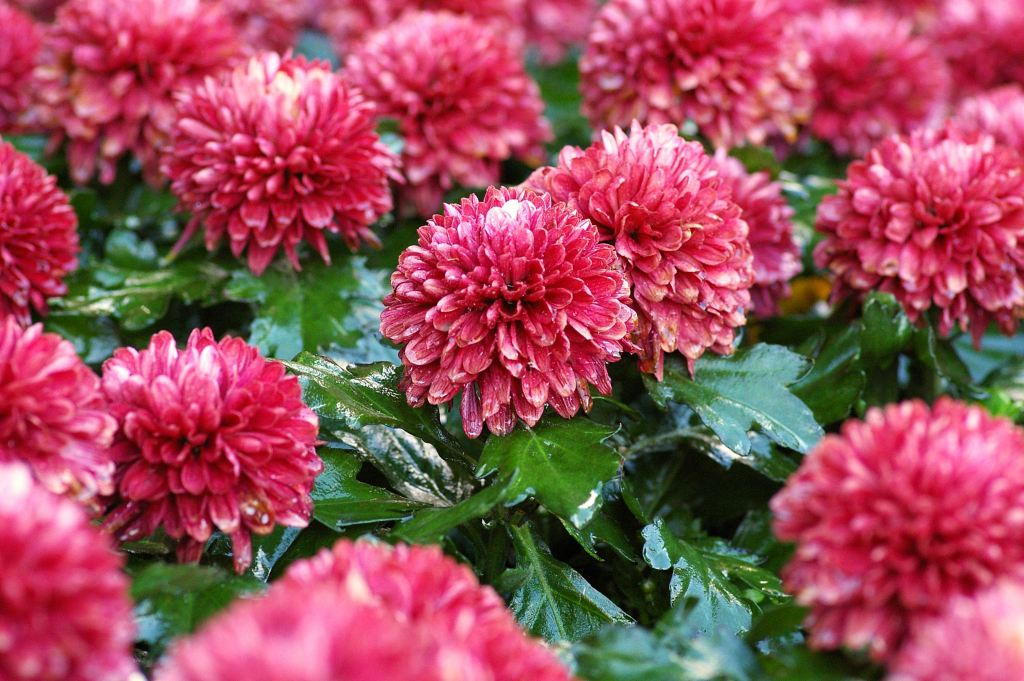Chrysanthemum pompoms