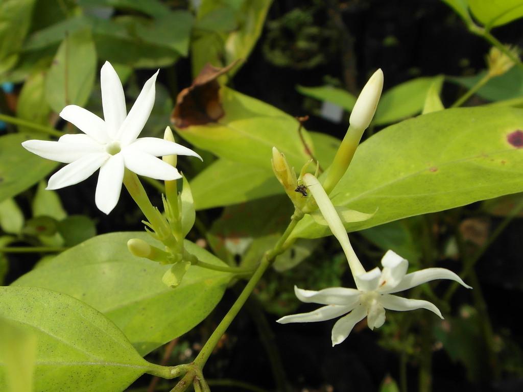 Elongatum Jasmine
