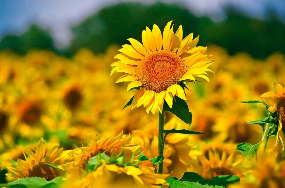 Jenis Bibit Bunga Matahari