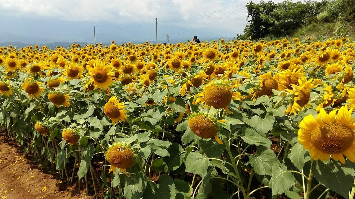 Penanaman Bunga Matahari Pada Lahan