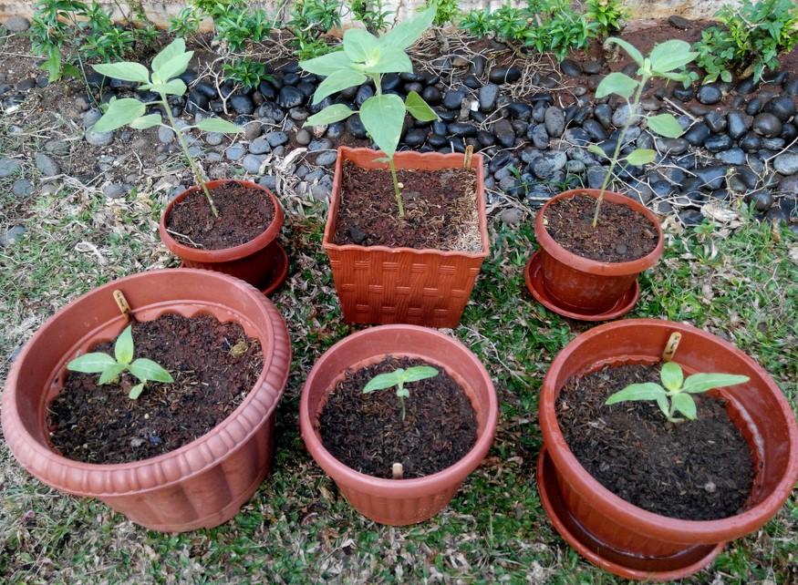 Penanaman Bunga Matahari Pada Pot