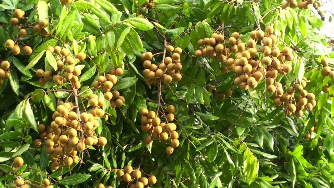 Pohon Kelengkeng Berbuah Lebat