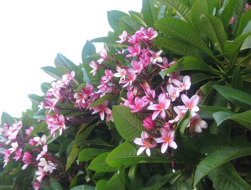 bunga kamboja bermekaran