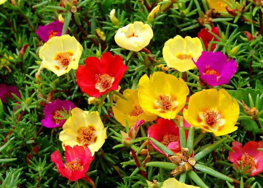 bunga krokot warna warni