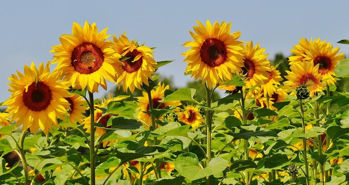 Unduh 8600 Gambar Bunga Matahari Mudah HD Terbaik