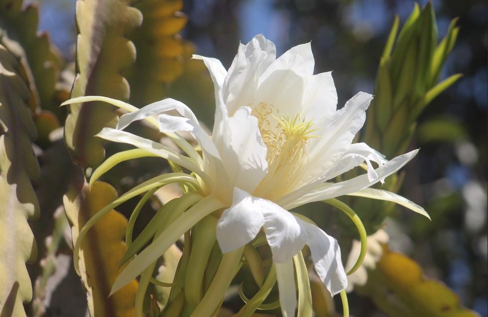 bunga wijaya kusuma putih