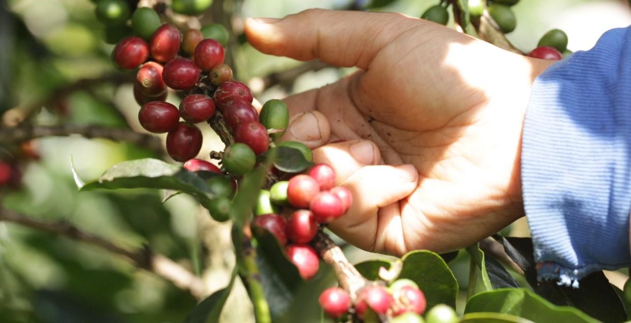 cara menanam kopi