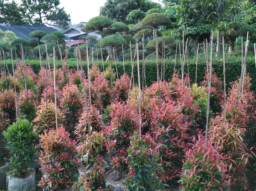 kebun bunga pucuk merah