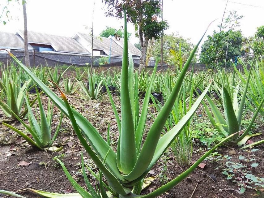kebun tanaman lidah buaya
