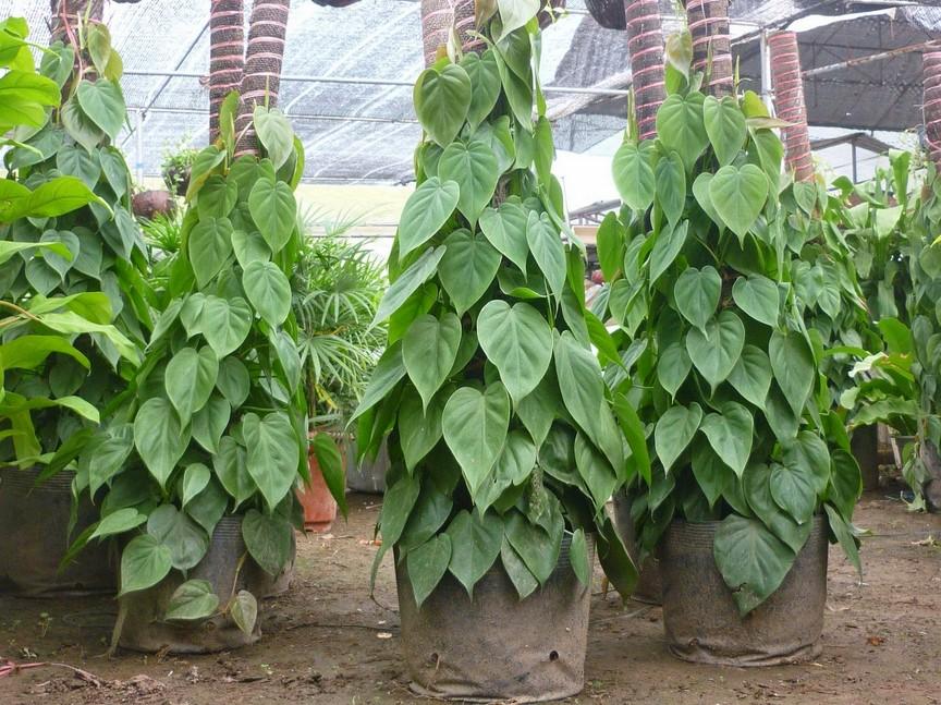 menanam daun sirih