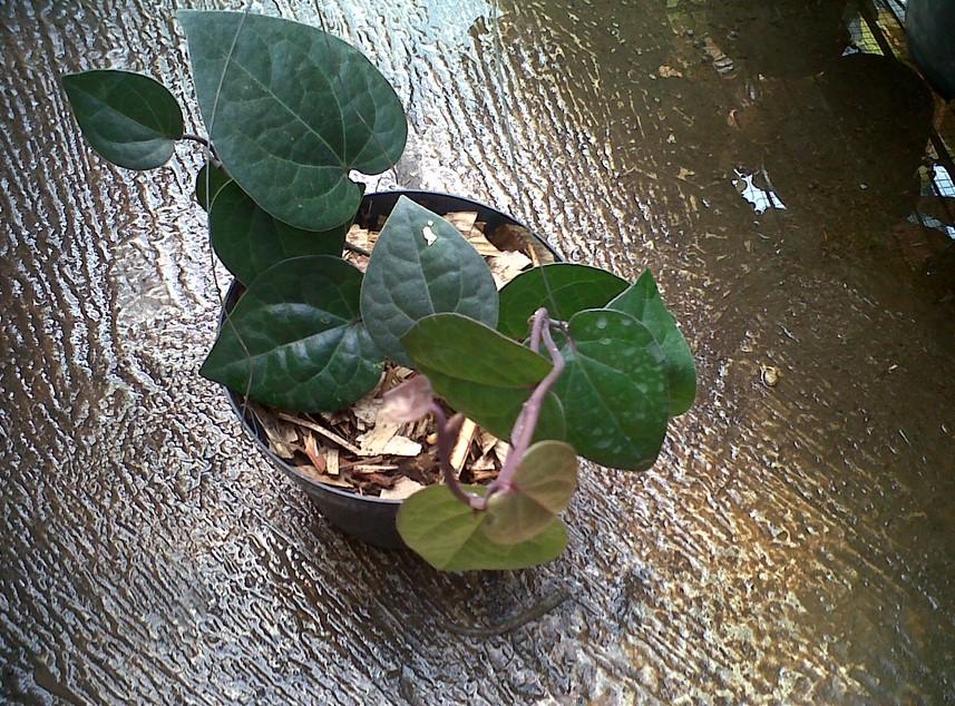 menanam sirih dengan stek batang