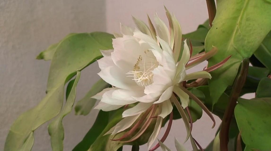 pemberantasan hama bunga wijaya kusuma